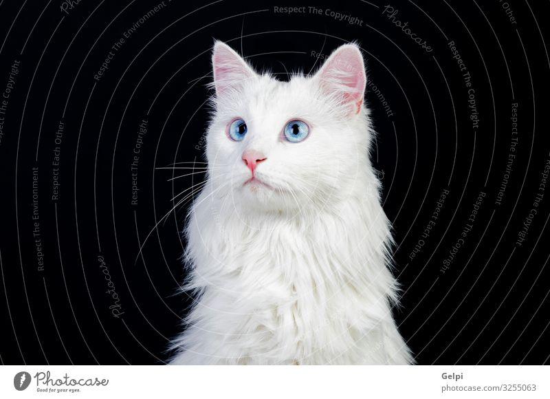 Adorable White Persian Cat Blue Beautiful Animal Black Face Gray Sit Cute Posture Pet Mammal Delightful Single Kitten