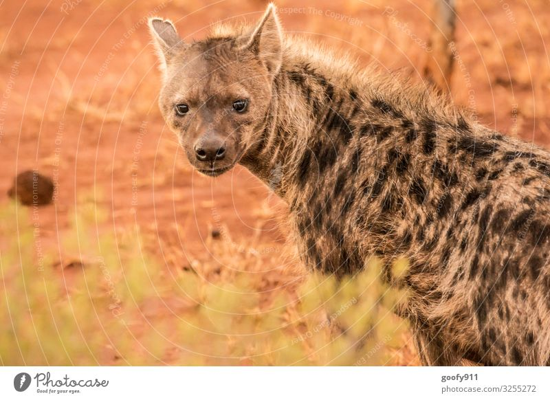 hyena Vacation & Travel Trip Adventure Far-off places Safari Expedition Environment Nature Elements Earth Sand South Africa Animal Wild animal Animal face Pelt