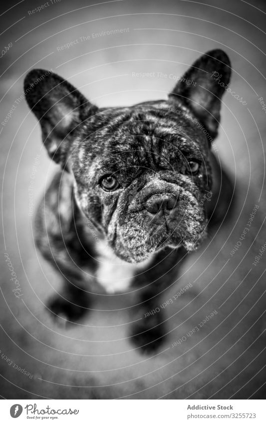 Cute wrinkled dog sitting on ground pet cute purebred puppy loyal french bulldog friend animal canine mammal creature pedigree adorable lovely obedient domestic