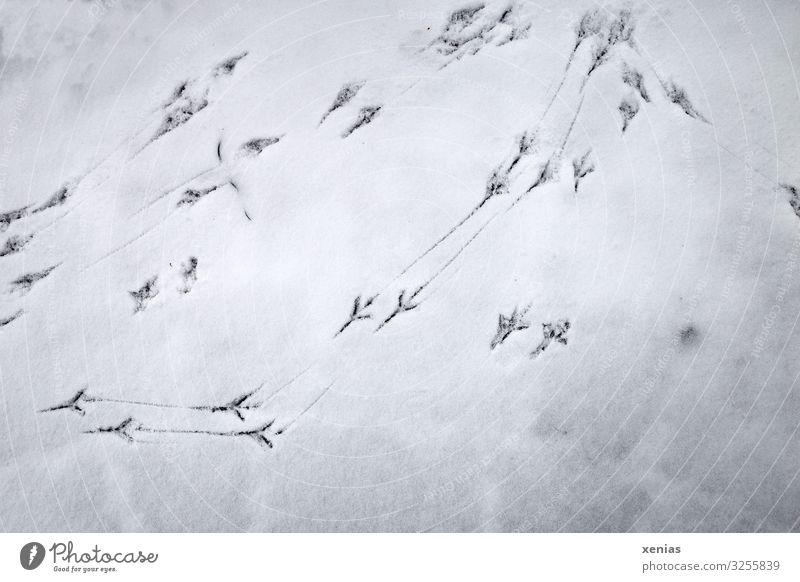 Traces of birds in the snow Winter Snow Bird bird tracks Blackbird Cold White Tracks Tracking Subdued colour Exterior shot Close-up Detail Copy Space bottom