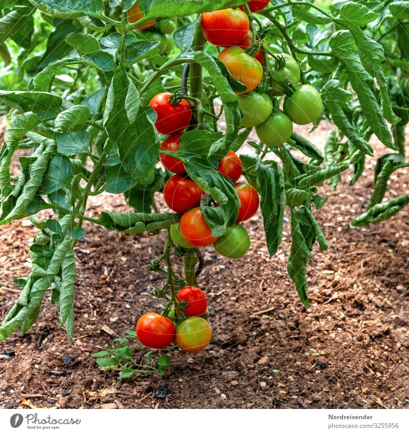 Tomatoes in the garden Food Vegetable Nutrition Organic produce Vegetarian diet Leisure and hobbies Garden Earth Summer Plant Agricultural crop Growth Fresh