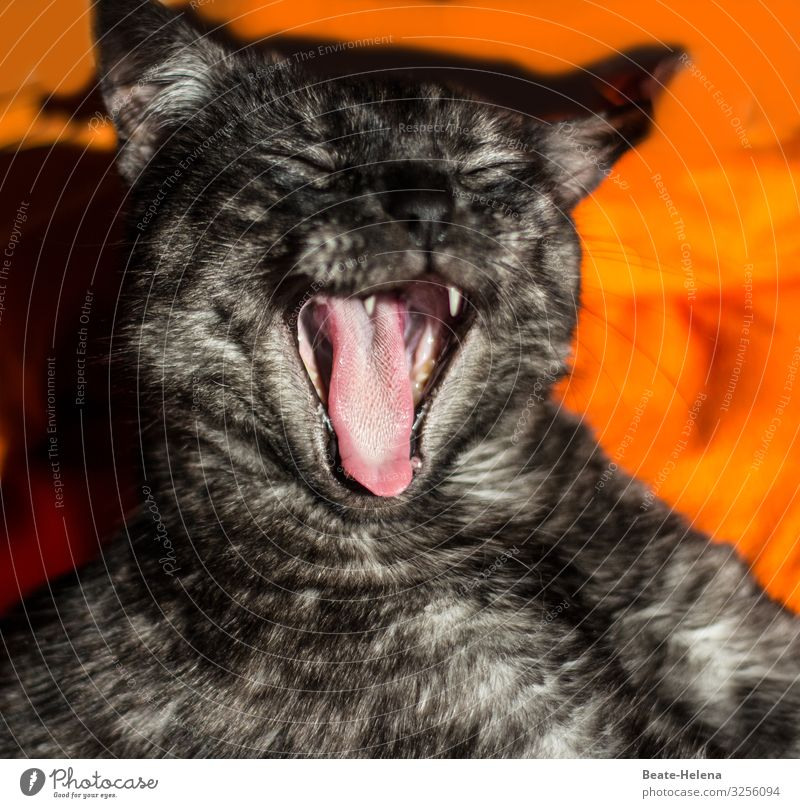 cat's tongue Well-being Relaxation Flat (apartment) Pet Cat Animal face Cat's tongue Breathe Sleep Wait Living or residing Esthetic Wild Soft Orange Black Moody