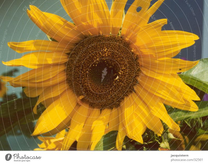 jacquister Sunflower Flower Yellow Plant