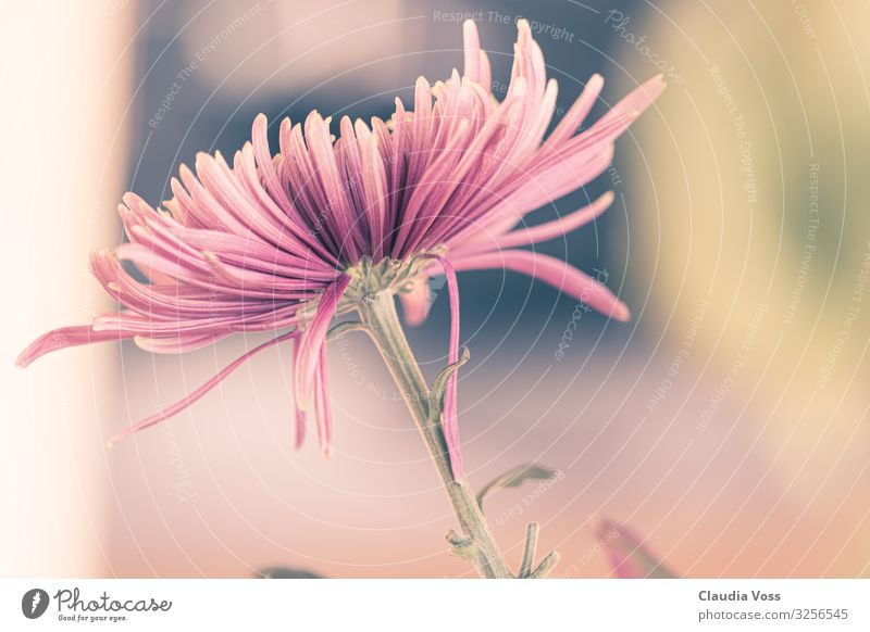 aster flower Nature Plant Flower Blossom Aster Exceptional Pink Joie de vivre (Vitality) Loyalty Romance Autumn Autumn flowering Autumnal Close-up