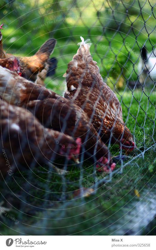 fowls Meat Nutrition Animal Farm animal Bird Group of animals To feed Feeding Gamefowl Poultry Poultry farm Livestock breeding Free-range rearing