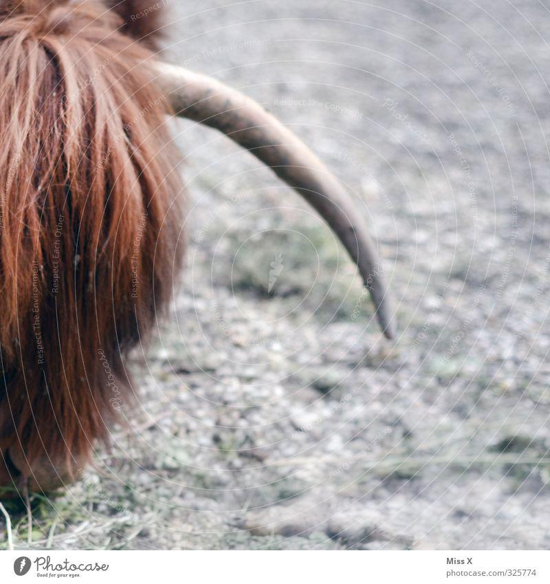 Animal Hair and hairstyles Wild Dangerous Point Pelt Cow To feed Antlers Bangs Farm animal Cattle breeding Bushy Livestock Livestock breeding