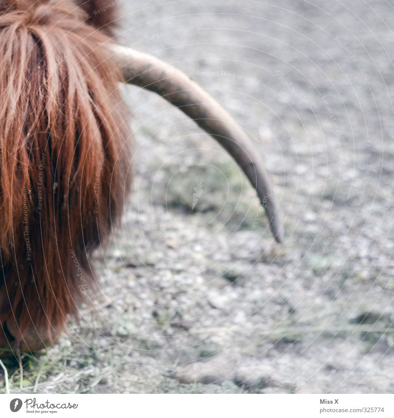Animal Hair and hairstyles Wild Dangerous Point Pelt Cow To feed Antlers Bangs Farm animal Cattle breeding Cattle Bushy Livestock Livestock breeding