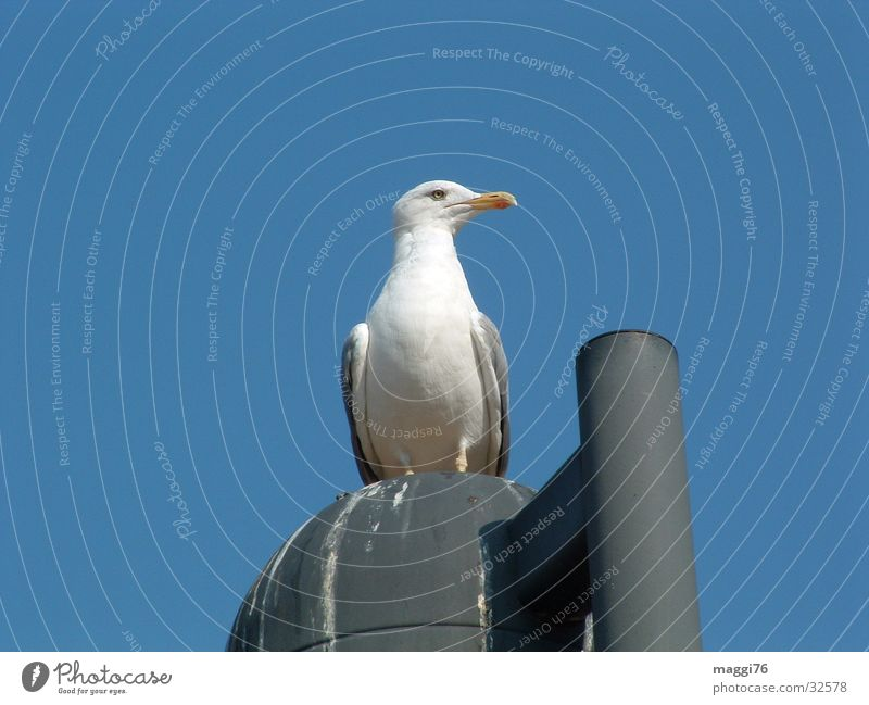 seagull Bird Seagull Lantern Beak Break Air Ocean Transport