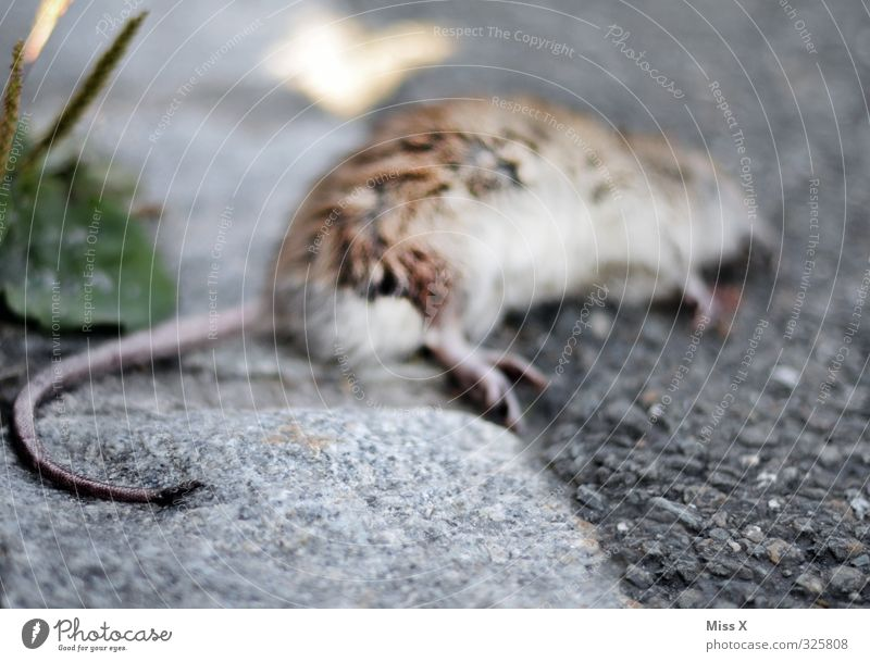 Dead Rat Animal Wild animal Dead animal Pelt 1 Lie Emotions Moody Death Transience Pests rat poison Poison Poisoned Kill Murder rat's tail Tails chamber fighter