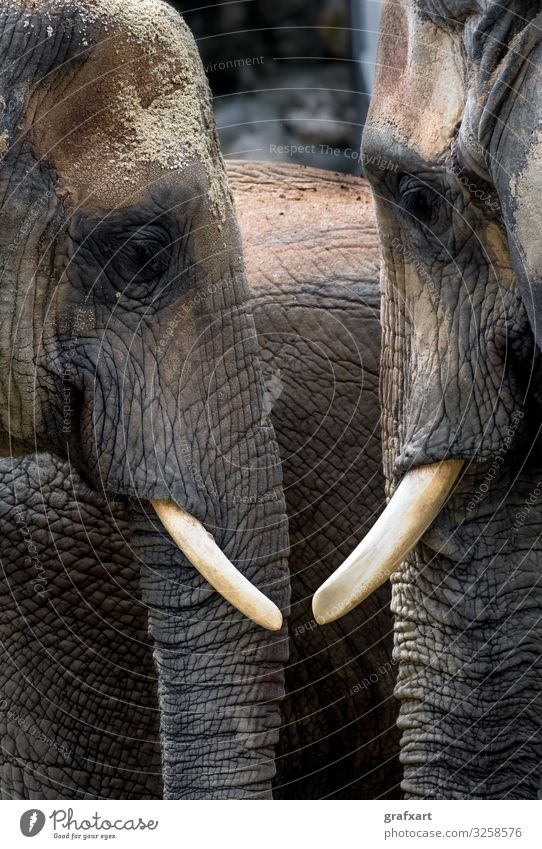 African Elephants With Heads Close Together african african elephant animal animal conservation animal protection background biodiversity bull calm
