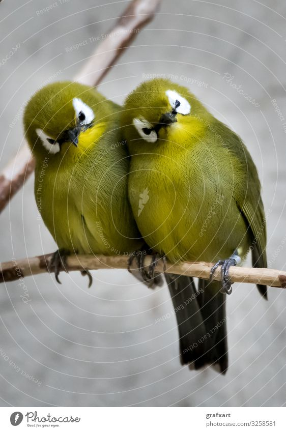 Two Small Green Bird Sitting Together On Branch animal animal protection attentive beak biodiversity birds branch break close close-up cosy couple cuddle
