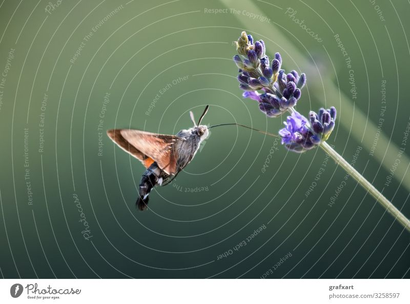 Hummingbird Hawk Moth Butterfly (Macroglossum stellatarum) Drinking Nectar From Flower During Hovering Flight agility animal animal conservation biodiversity