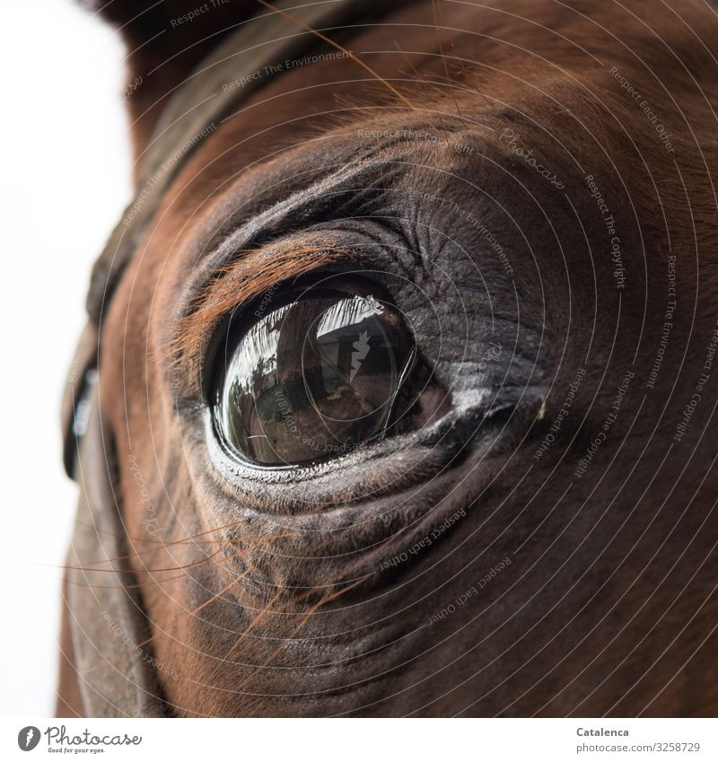 A brown horse eye looks anxiously into the camera Eyes Horse Animal Brown Looking Animal portrait Looking into the camera Farm animal Detail Nature Fear