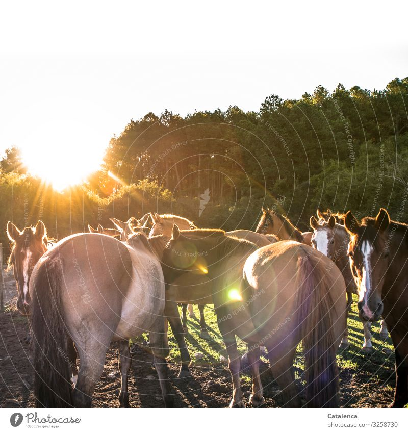 paddock Nature Plant Animal Sky Sun Summer Beautiful weather Tree Grass Pasture Farm animal Horse Group of animals Observe Stand Brown Gold Green Moody