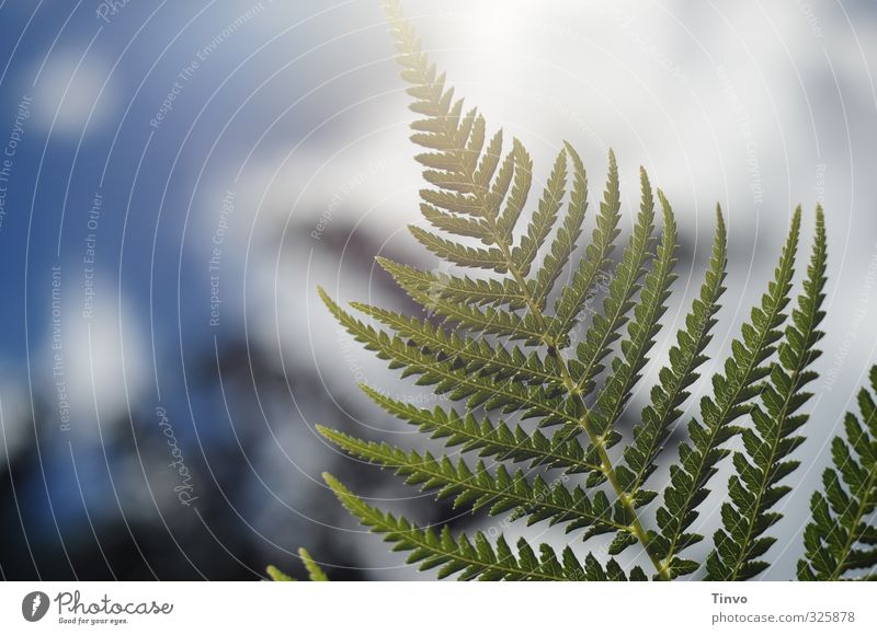 Backlit plant Nature Plant Sky Beautiful weather Fern Blue Green White Delicate Colour photo Exterior shot Close-up Deserted Copy Space left Day Contrast