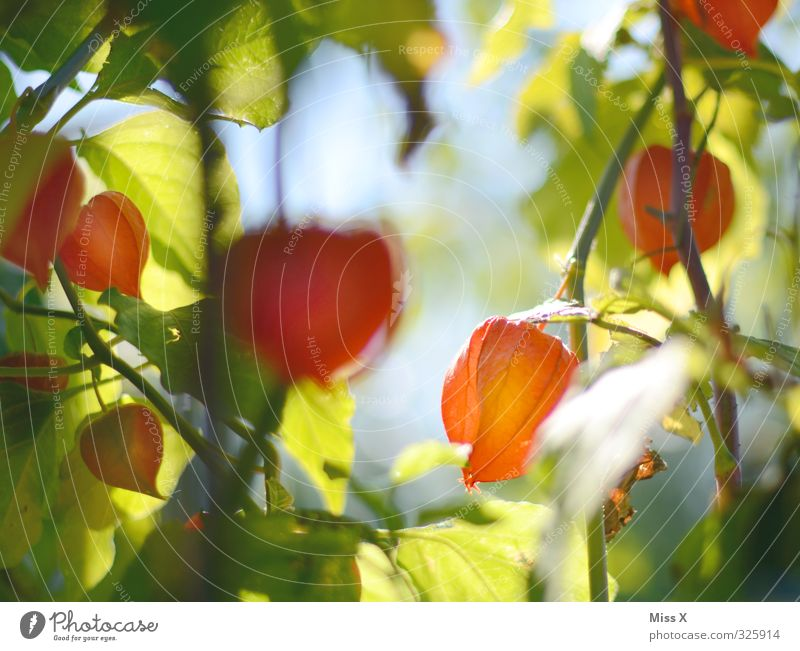 physalis Food Fruit Nutrition Nature Plant Flower Blossom Garden Delicious Sweet Chinese lantern flower Physalis Red Bright Colours Colour photo Multicoloured