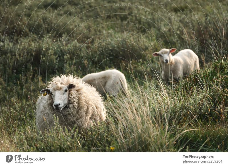 White sheep and lambs in tall grass on Sylt island Northern farm North Sea Animal Animal family To feed Stand Cute Frisia Germany Schleswig-Holstein