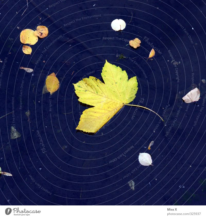 autumn Water Autumn Leaf Pond Lake Blue Yellow To fall Autumnal Autumn leaves Early fall Maple leaf Float in the water Colour photo Multicoloured Exterior shot