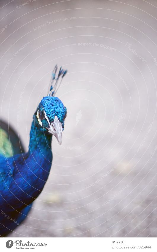 look at Animal Bird 1 Curiosity Emotions Pride Conceited Peacock Beak Colour photo Multicoloured Exterior shot Deserted Copy Space right Copy Space top