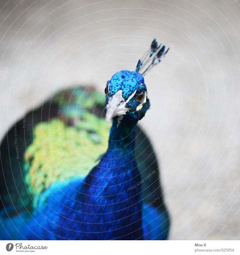 Look, peacock. Animal Bird 1 Emotions Vice Pride Conceited Peacock Peacock feather Beak Curiosity Blue Colour photo Exterior shot Close-up Deserted