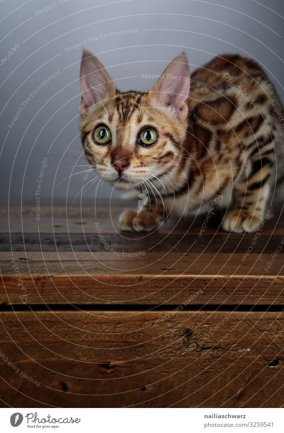 bengal cat Lifestyle Warmth Animal Pet Cat Animal face Bengali Cat 1 Baby animal Table Wooden table Observe Lie Looking Wait Brash Curiosity Cute Beautiful Soft