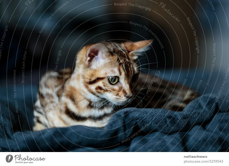 bengal cat Lifestyle Relaxation Calm Meditation Living or residing Flat (apartment) Warmth Animal Pet Cat Bengali Cat 1 Baby animal Ceiling Observe Lie Looking