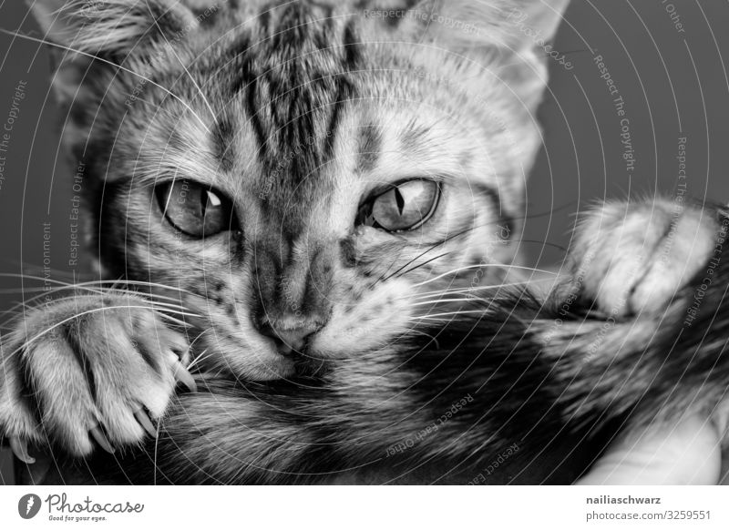 bengal cat Animal Pet Cat Animal face Claw Paw Bengali Cat 1 Observe Looking Playing Wait Aggression Brash Cuddly Curiosity Cute Beautiful Wild Soft