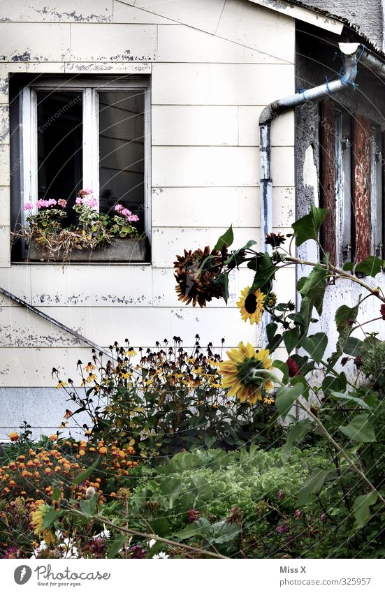 Old Flower Window Garden Flat (apartment) Living or residing Farm Sunflower Outskirts Overgrown Country  garden