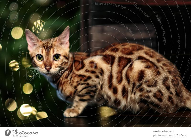 Bengal Cat and Christmas Tree Lifestyle Living or residing Flat (apartment) Feasts & Celebrations Christmas & Advent New Year's Eve Animal bengal cat