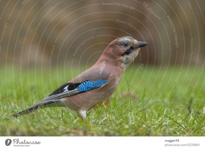 jays Environment Nature Animal Spring Summer Autumn Climate change Beautiful weather Grass Bushes Foliage plant Garden Park Meadow Forest Wild animal Bird