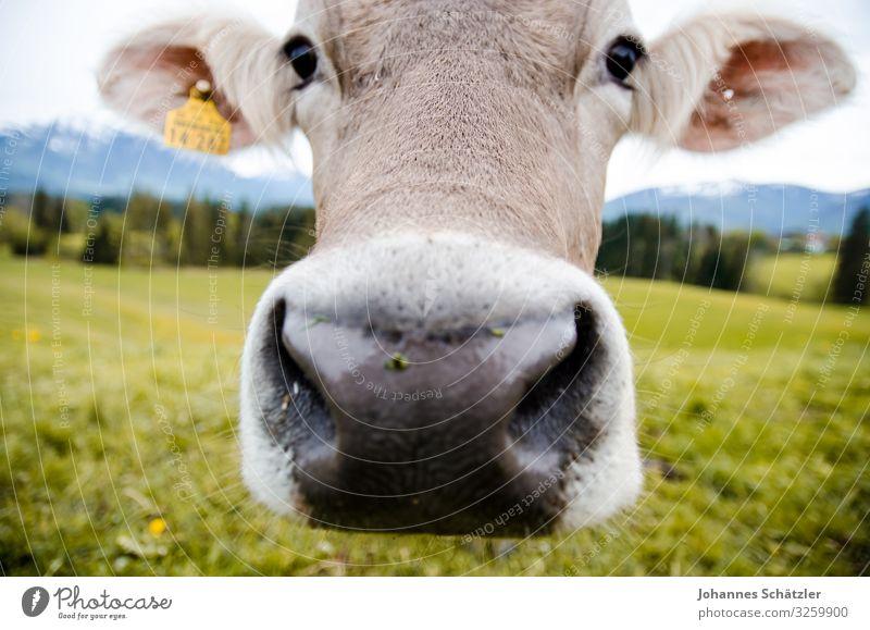 Animal Curiosity Cow Animal face Farm animal Allgäu