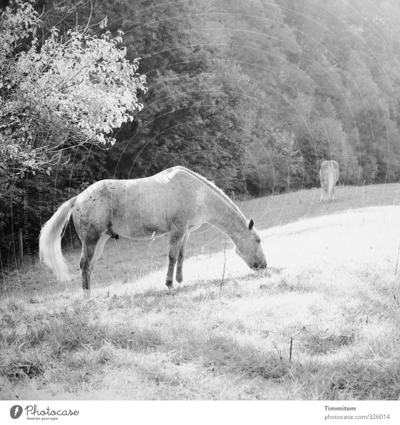 black-and-white gray unicorn. Trip Environment Nature Plant Tree Grass Meadow Forest Animal Horse 2 To feed Simple Natural Gray Black White Emotions Penis