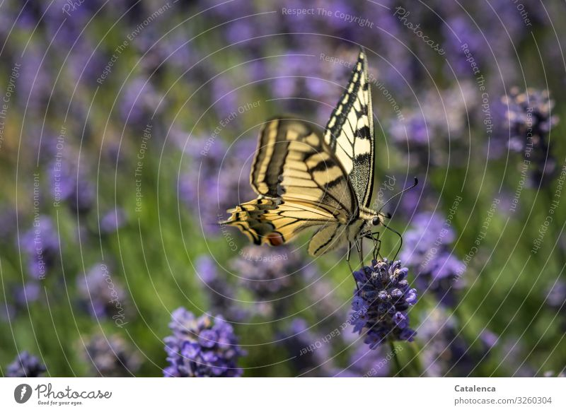 Swallowtail on a lavender flower Nature fauna flora Animal Butterfly Plant Lavender Blossom blossom fragrances fade Garden Day Daylight Green Yellow purple