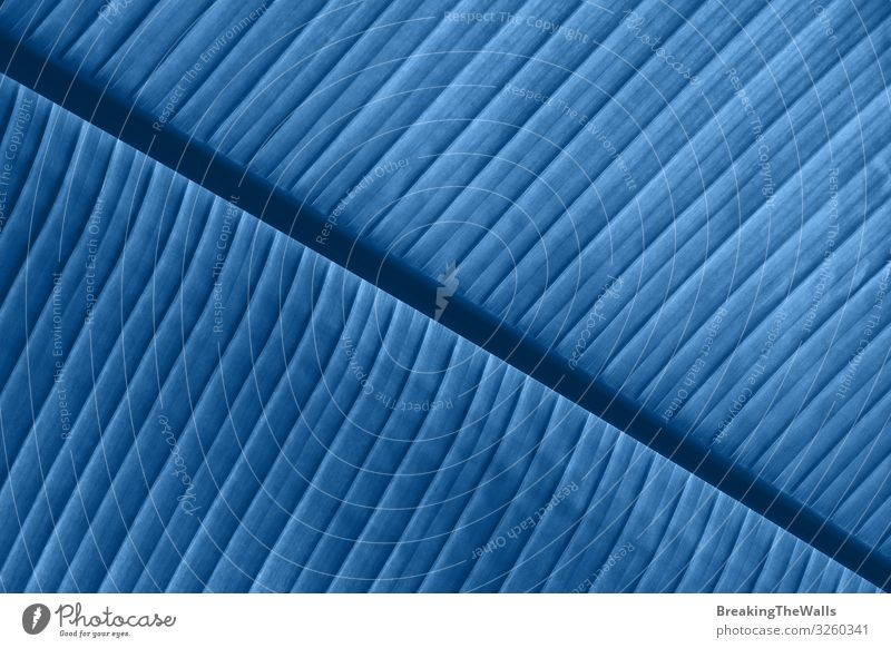 Background texture of blue toned palm leaf veins Nature Plant Blue Colour Tree Leaf Environment Bright Fresh Exotic Palm tree Botany Diagonal Consistency