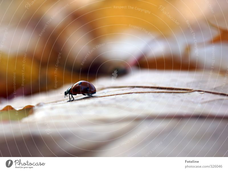Nature Plant Leaf Animal Forest Environment Autumn Small Natural Brown Park Wild animal Free Autumn leaves Beetle Ladybird