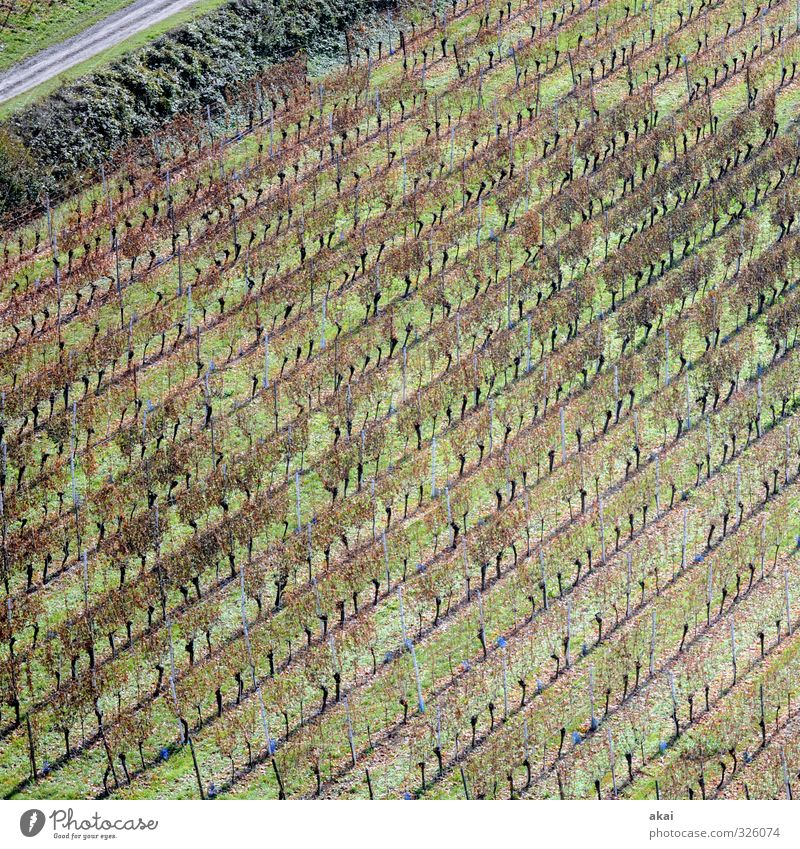 Vineyard on the Tuniberg near Freiburg Field Farmer Agriculture vines Wine growing Nature Exterior shot Growth Winery Rural work Food Bleak defoliated Green