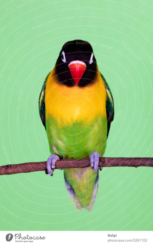 Beautiful lovebird on a branch Exotic Happy Summer Sun Human being Zoo Nature Animal Pet Bird Love Friendliness Small Funny Yellow Green Appetite Colour