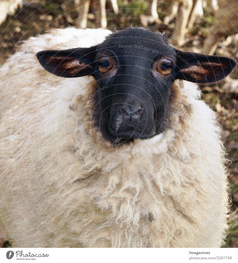 """Sheep mourning#Sheep mourning#Mourning Agriculture Forestry Animal Pet Farm animal Lamb's wool 1 Sadness Whimsical """"close-up sad great sorrow Grief"""