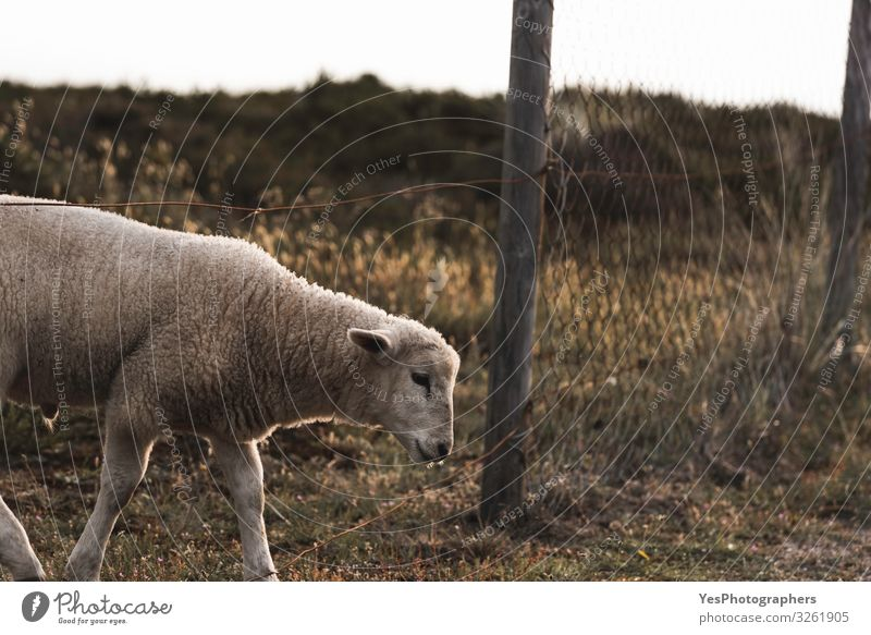 Lamb crossing farm fence. Northern white sheep on Sylt island Summer Easter Grass Moss North Sea Farm animal 1 Animal Baby animal Cute Adventure Freedom Frisia