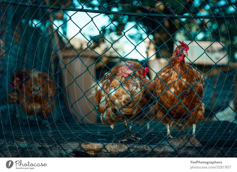 Red chickens behind a fence. Molting hens at a german farm Animal Farm animal Bird Group of animals Gloomy Brown Emotions Moody Safety Stress agriculture avian