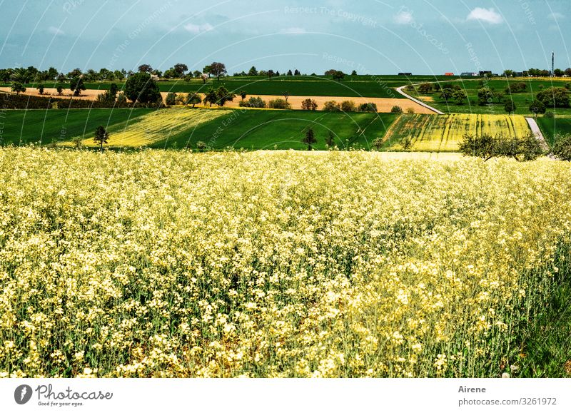 Rapeseed on agricultural land in the Heckengäu Canola Canola field Spring Agriculture Field Plant Nature Environment Agricultural crop Landscape