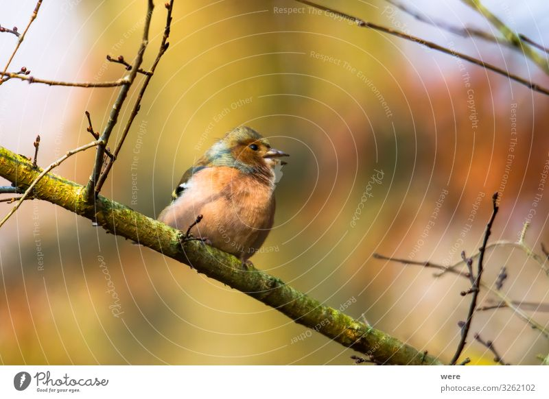 Chaffinch on a branch in autumn forest Winter Nature Animal 1 Beautiful Small bird bird feeding branches copy space feathers fly nobody songbird tree Wild