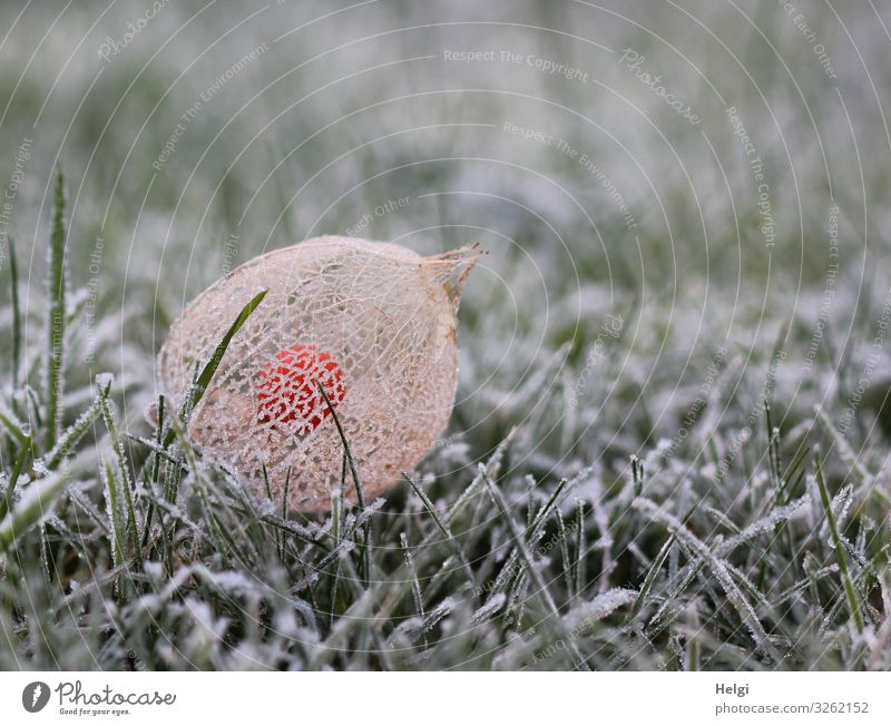 Fruit of a physalis with a net-like covering and hoarfrost lies in the frozen grass Environment Nature Plant Winter Ice Frost Grass Physalis Garden Sheath