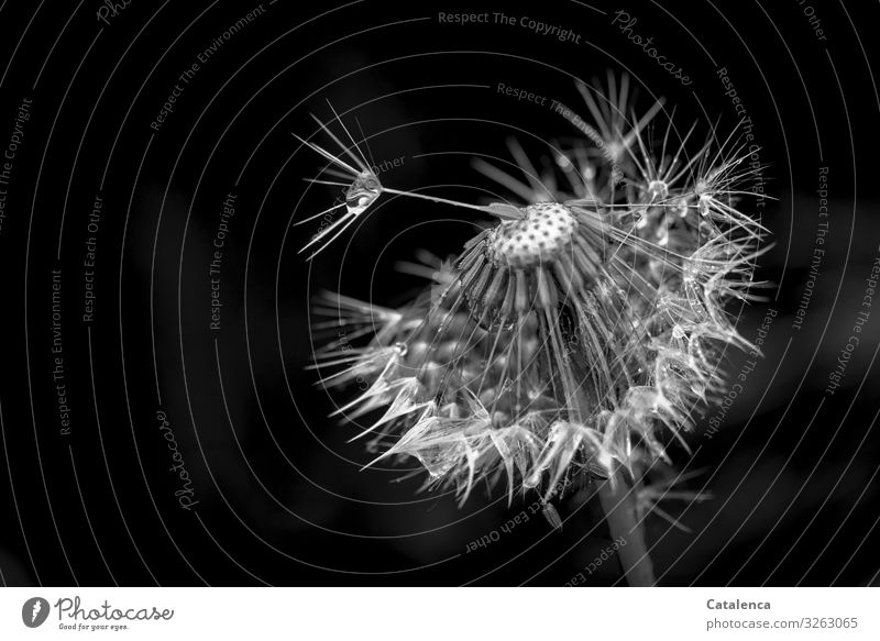 parted Nature Plant Drops of water Bad weather Rain Flower Blossom Dandelion Garden Meadow Faded Authentic Wet Natural Gray Black White Moody Transience Change