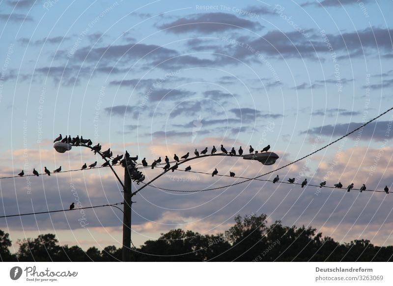 Birds on a wire Wild animal Pigeon Flock Crouch Sit Wait Blue Black Endurance Modest Calm Street lighting Cable Clouds Dusk Colour photo Deserted Evening