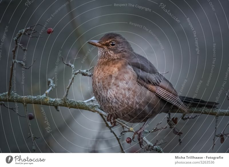 Blackbird in a berry bush Nature Animal Sunlight Autumn Winter Bushes Wild animal Bird Animal face Wing Claw Head Beak Eyes Feather Plumed 1 Observe Looking Sit