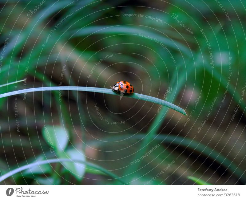 Little ladybug on a grass leave Animal Wild animal Beetle 1 Joie de vivre (Vitality) Spring fever Acceptance Trust Safety Protection Love of animals Beautiful
