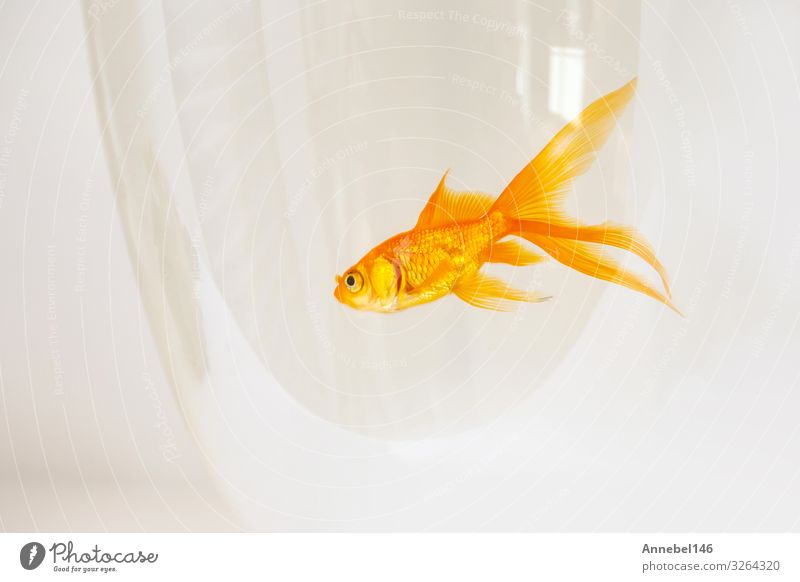 goldfish swimming in a fishbowl on white background, Bowl Beautiful Freedom Business Friendship Nature Animal Pet Aquarium Movement Flying Jump Happiness New