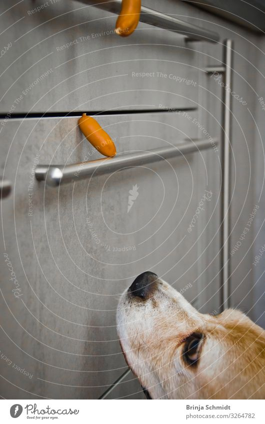 Dog Animal Joy Think Gray Dream To enjoy Poverty Observe Delicious Kitchen To fall Pet Fragrance Appetite Anticipation