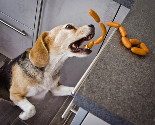 A cheeky Beagle steals sausages in the kitchen. Sausage Kitchen Pet Dog Animal face 1 Eating Catch To feed Feeding Hunting Laughter Brash Happiness Delicious